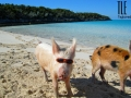 Pig wearing sunglasses near Staniel Cay, Bahamas