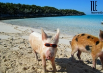 Pig wearing sunglasses on the beach near Staniel Cay, Bahamas